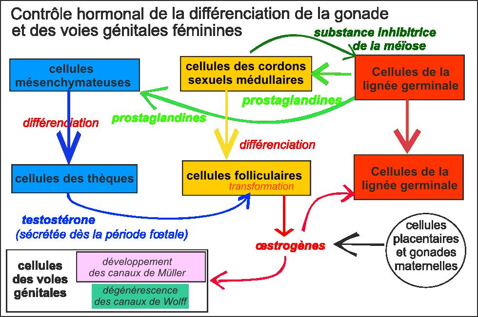 1S - Physiologie de la reproduction